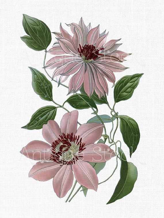 White Flower Clip Art Clematis Vine Candida Flower Image Vintage.