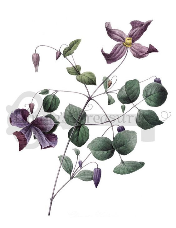 Clematis, French and Purple on Pinterest.