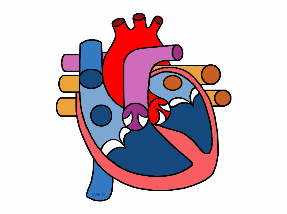 Real Human Heart Clipahuman Heart Png.