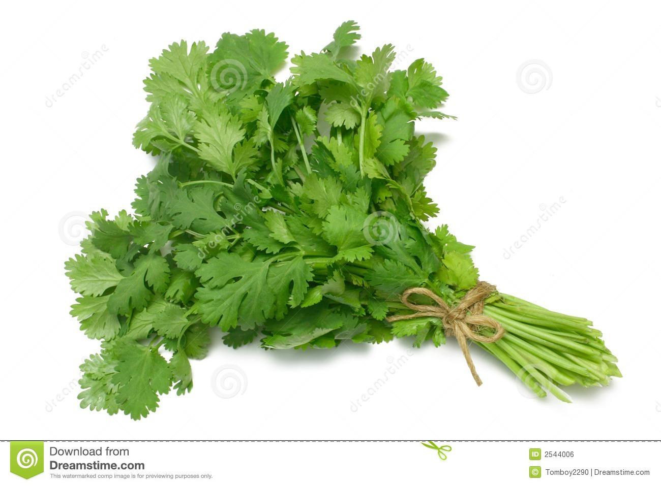 Herb Series Coriander/Cilantro Royalty Free Stock Image.