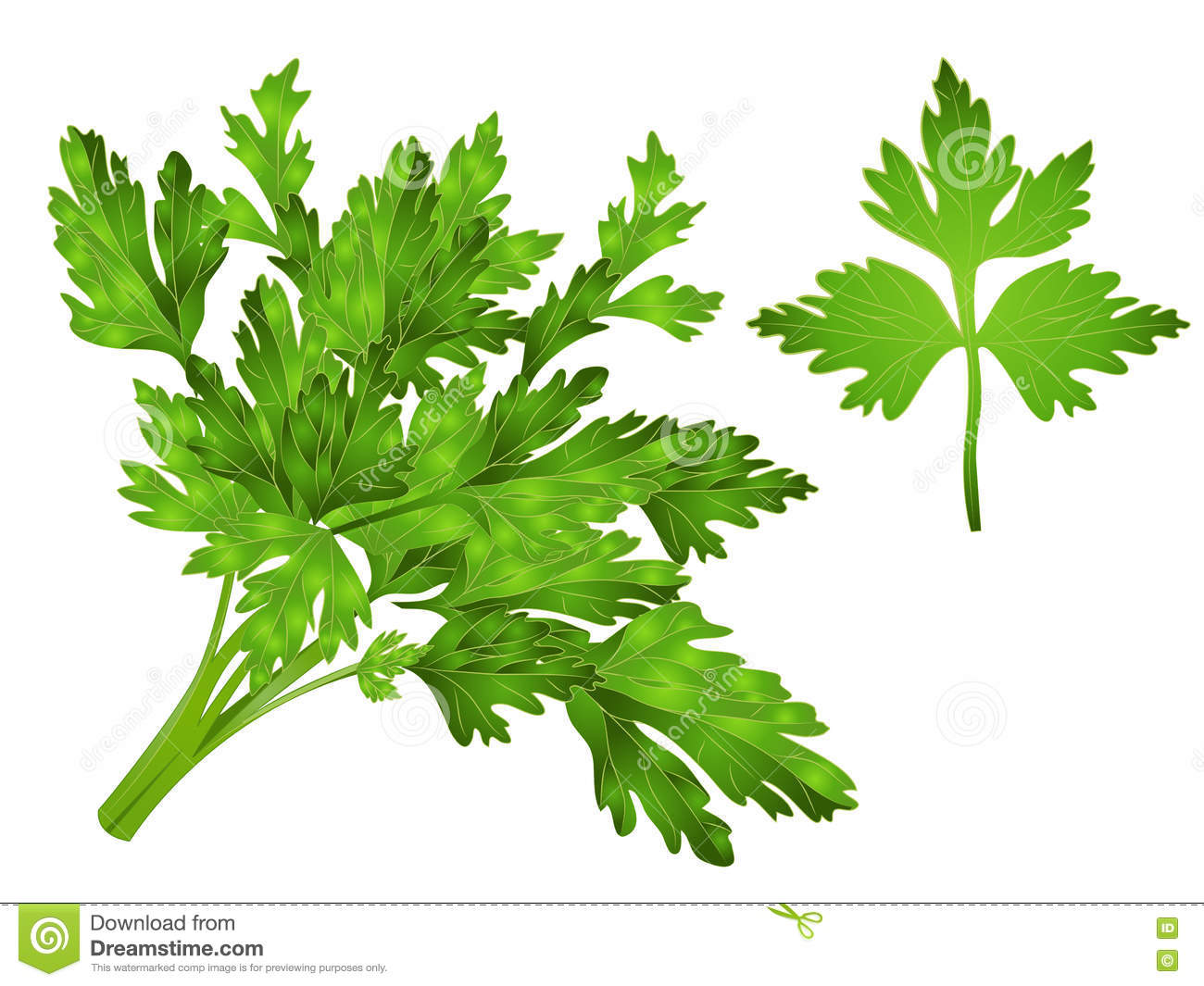 Coriander Leaves Clipart Stock Photo.