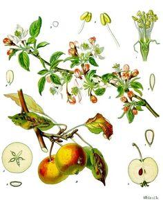 A faj kettős latin neve: Platycladus orientalis Magyar név: keleti.
