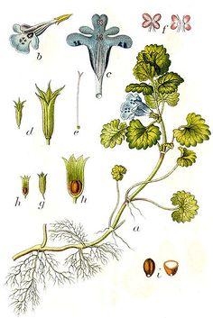 Portulaca oleracea Green Purslane.