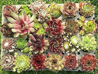 17 best ideas about Hauswurz Pflanzen on Pinterest.