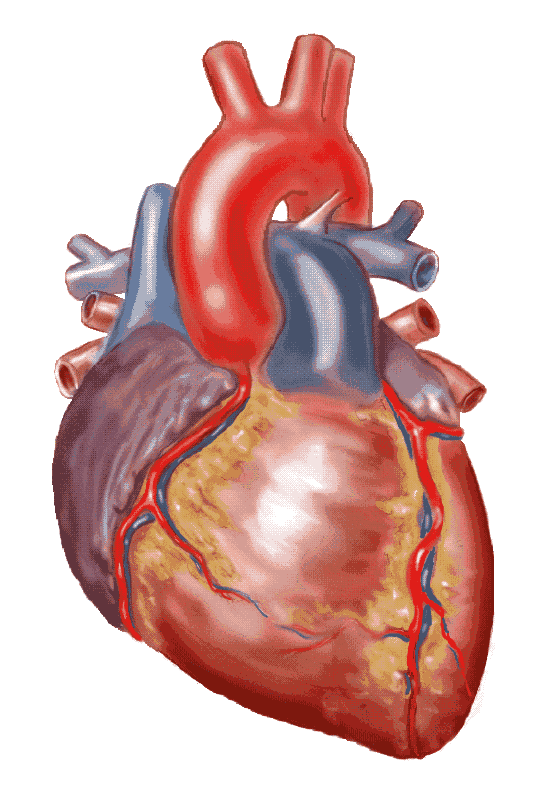 Real Heart Png, png collections at sccpre.cat.