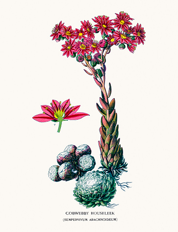 Sempervivum Clip Art, Vector Images & Illustrations.