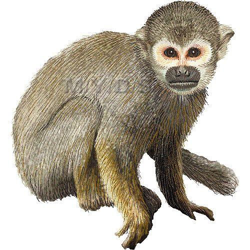 Monkey clipart squirrel monkey, Monkey squirrel monkey.