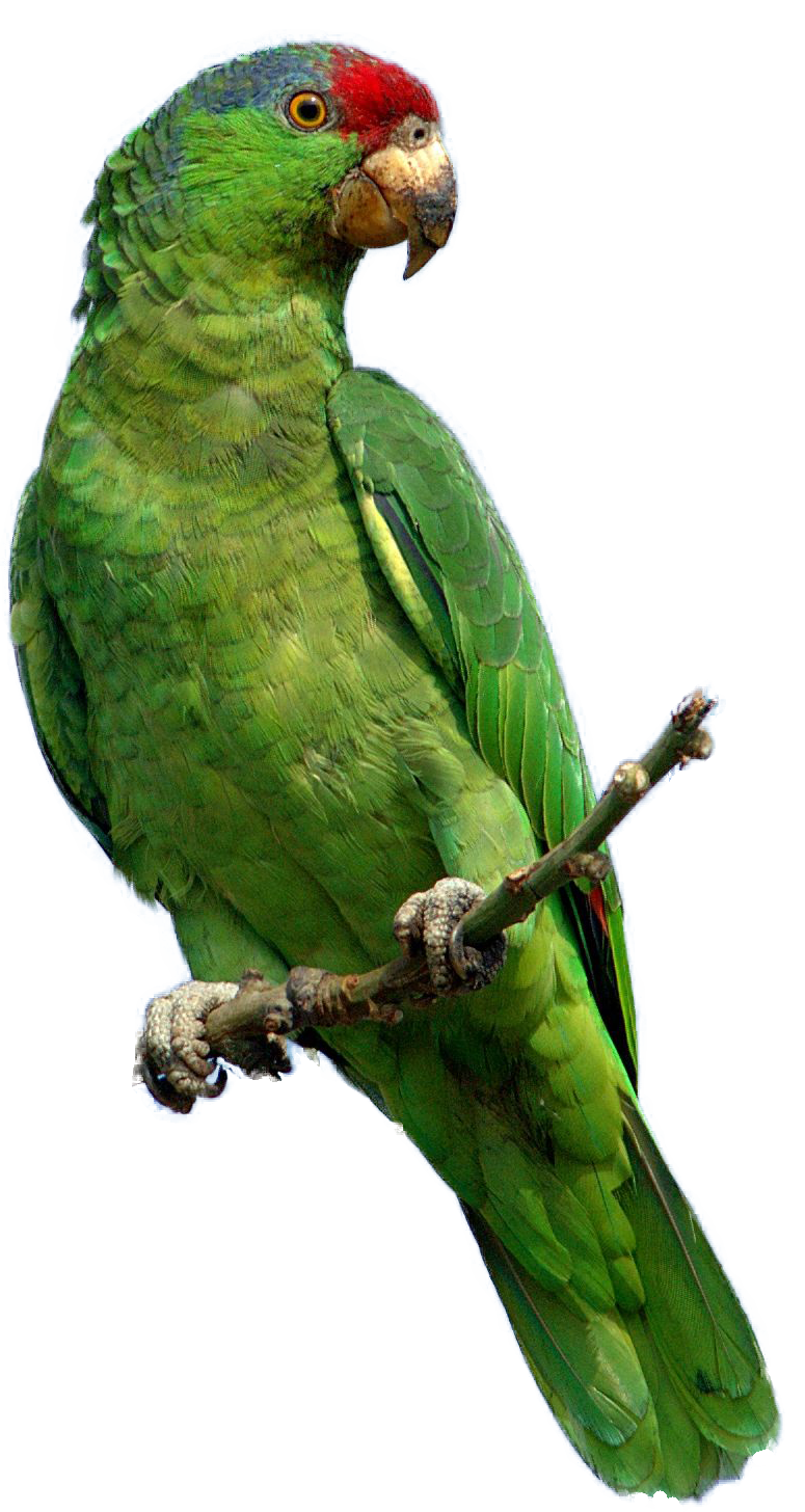 Green parrot clipart png.