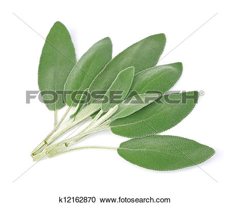 Stock Photography of Sage leaves k12162870.