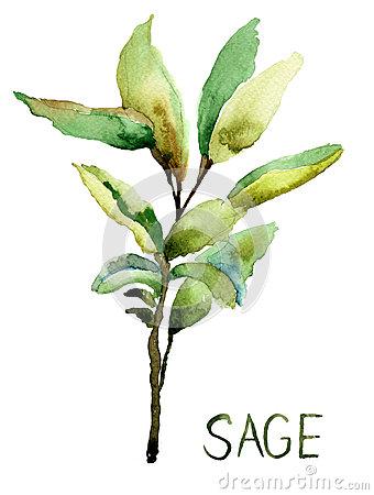 Sage Stock Illustrations.
