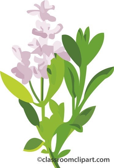 Herbs : sage : Classroom Clipart.
