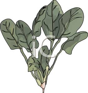 Green Spinach Leaves.