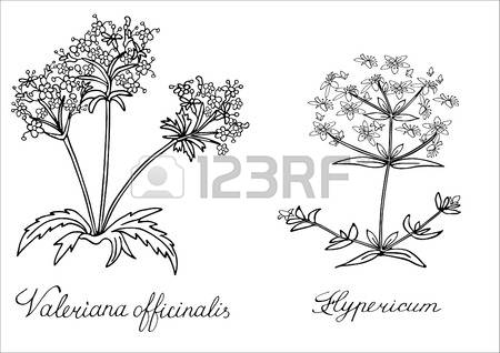 173 St John S Wort Stock Vector Illustration And Royalty Free St.