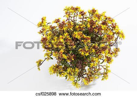 Pictures of Flowering stonecrop, Sedum floriferum csf025898.