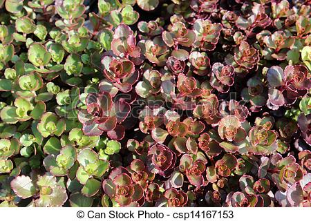 Stock Images of Plant called stone crop voodoo.