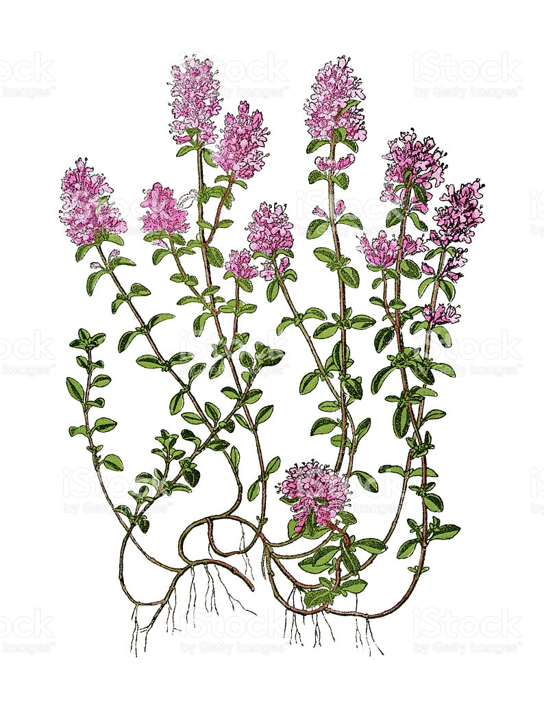 Thyme Clip Art, Vector Images & Illustrations.
