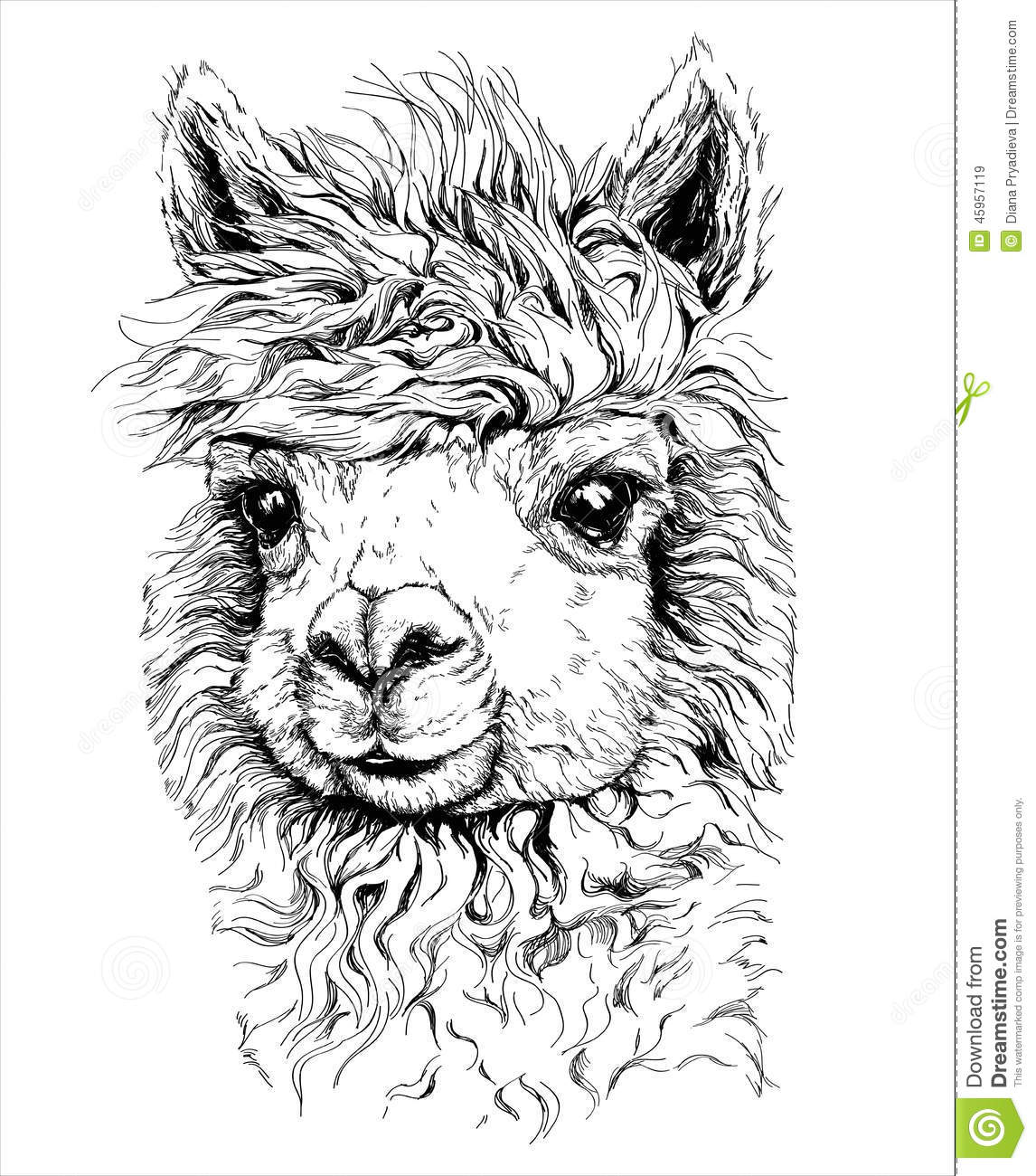 Realistic Sketch Of LAMA Alpaca, Black And White Drawing, Isolated.