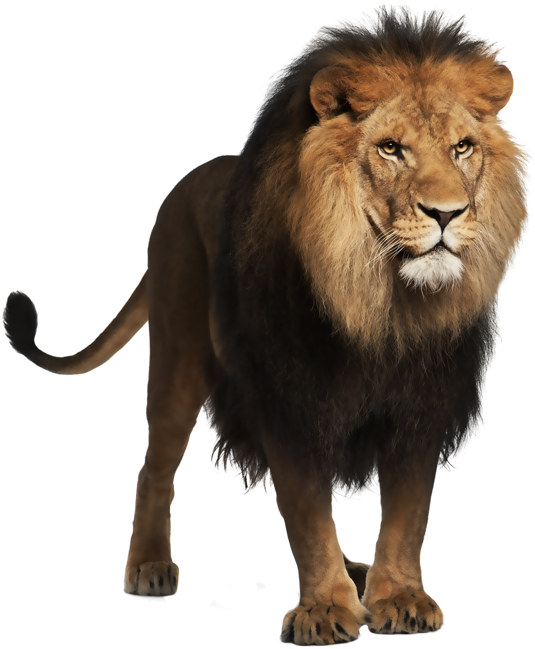 Lion Clipart Real.