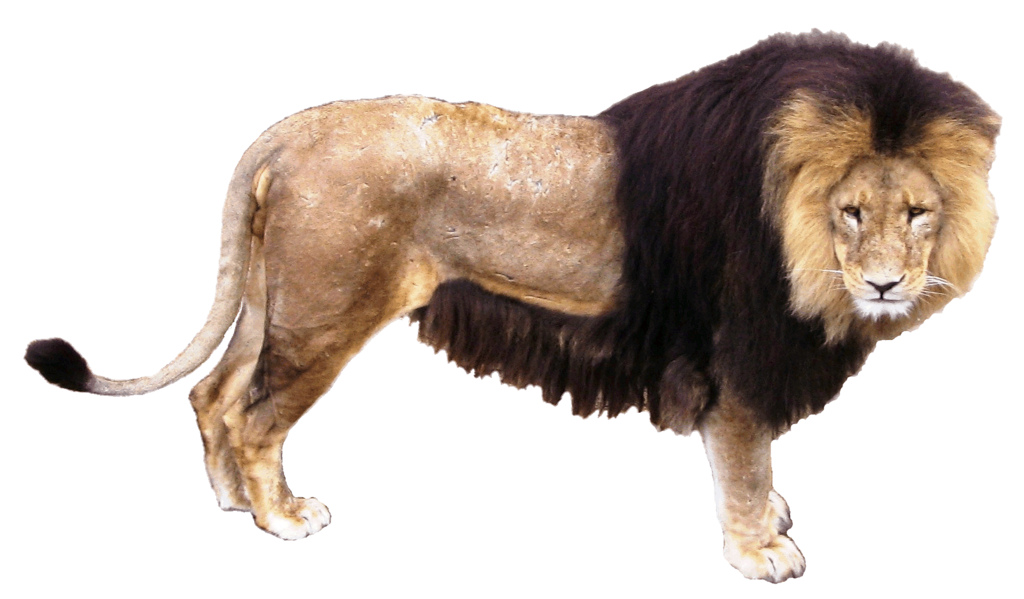 Download High Quality Lion Real Transparent PNG Images.