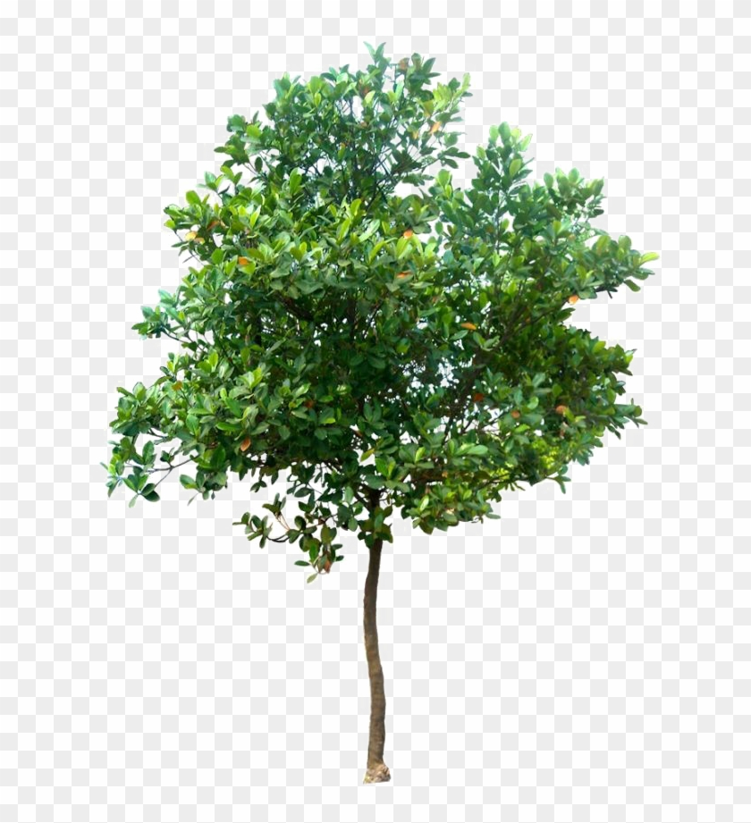 Realistic Tree Png Photo.
