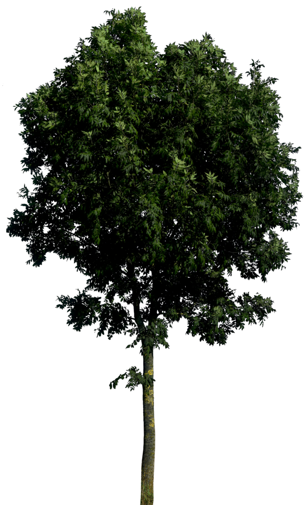 Realistic Tree PNG Pic.