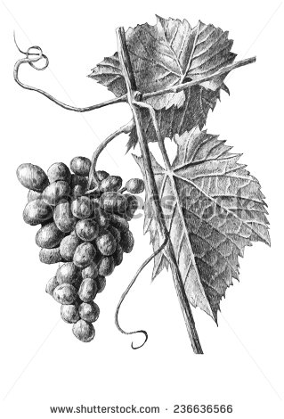 Grapevine Leaves Stock Photos, Images, & Pictures.