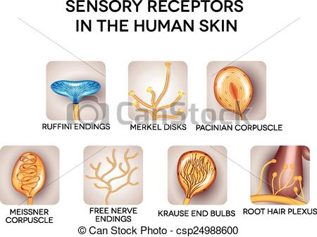 Vector Clipart of Sensory receptors in the human skin, detailed.