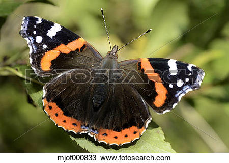 Stock Photo of Red Admiral, Vanessa atalanta mjof000833.