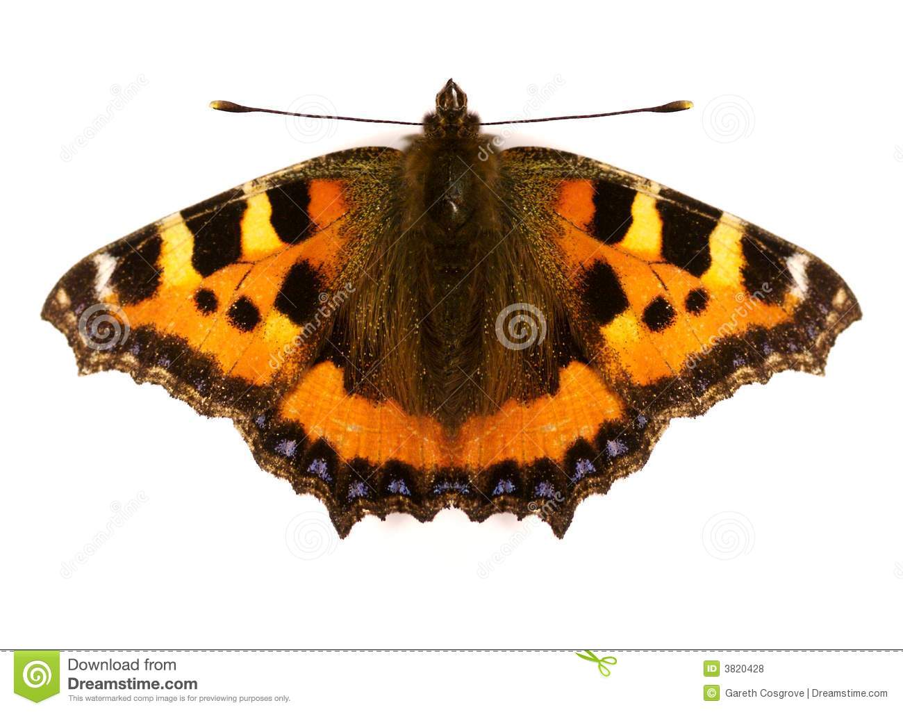 Red Admiral Butterfly Stock Image.