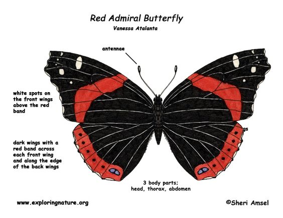 detailed drawings of red admiral butterfly.