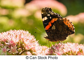 Red admiral Clip Art and Stock Illustrations. 42 Red admiral EPS.