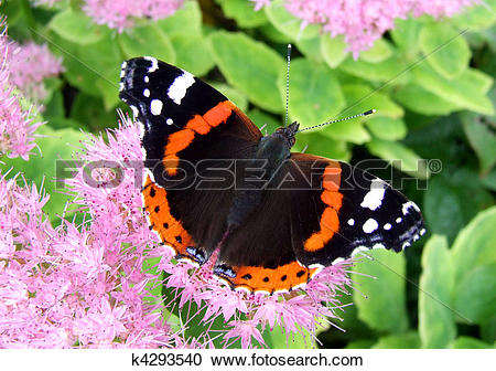 Stock Photography of Red Admiral k4293540.