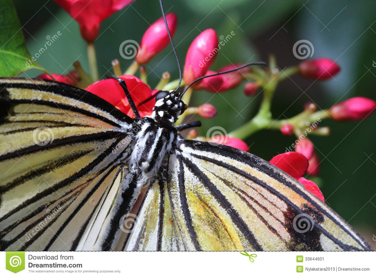 Rice Paper Butterfly Eating Nectar Stock Image.