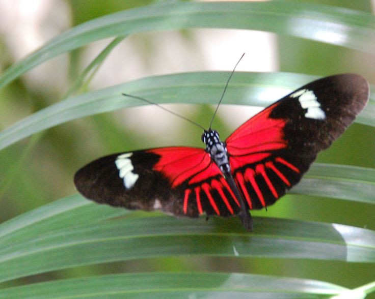 17 Best images about red and black butterflies on Pinterest.