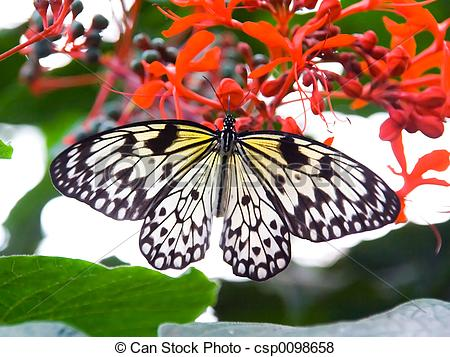 Pictures of Black and white striped butterfly resting on red.
