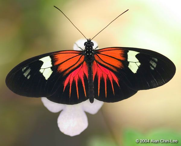 1000+ images about BUTTERFLY IMAGES on Pinterest.