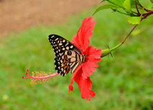 Chinese Red And Black Butterfly Macro Stock Photography.