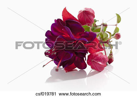 Stock Photography of Fuchsia flowers on white background, close up.