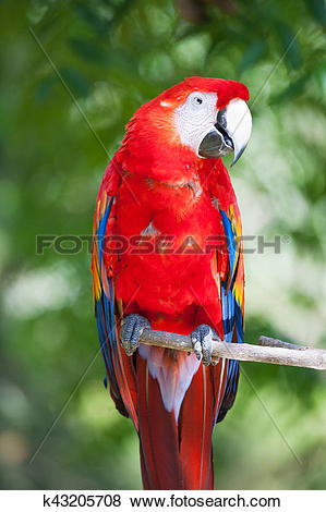 Pictures of Red ara parrot k43205708.
