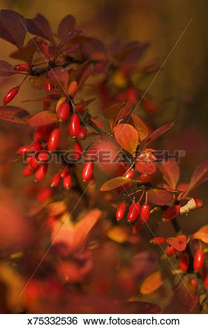 Stock Images of Red Berries on Barberry Bush n Fall x75332536.