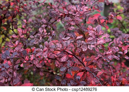 Picture of Bright Red Japanese Barberry Leaves.