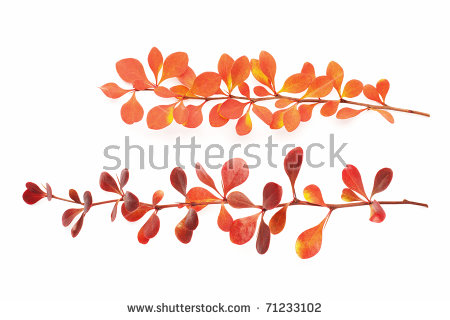 Red Leaf Barberry Stock Photos, Royalty.