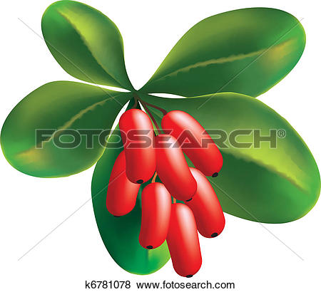 Clip Art of Fruits and leaves of barberry on a white background.