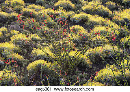 Stock Photography of CHOLLA, OCATILLO, and RED BARREL CACTI.