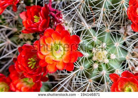 Barrel Cactus Stock Photos, Royalty.
