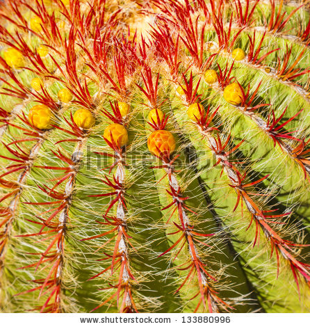 Barrel Cactus Stock Images, Royalty.