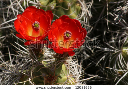 Bright Red Flowers Blooming On Barrel Cactus Stock Photo 12081655.
