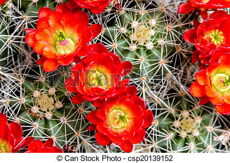 Stock Images of Blooming barrel cactus with red blooms.