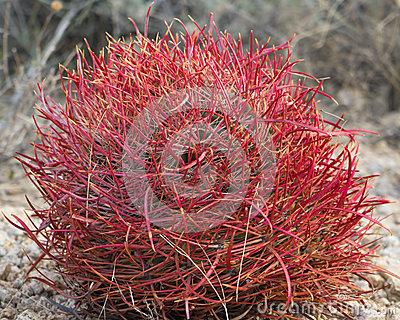 Red Barrel Cactus Stock Photo.