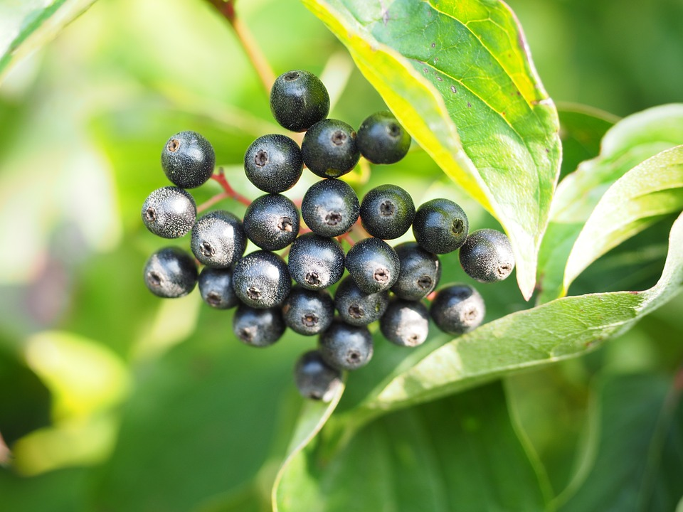 Free photo Black Red Dogwood Dogwood Berries Cornus Fruits.